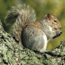 squirrel square