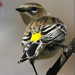 Yellow-rumped warbler, taken by Will Stuart during the 2009 GBBC. (From birdsource.org)