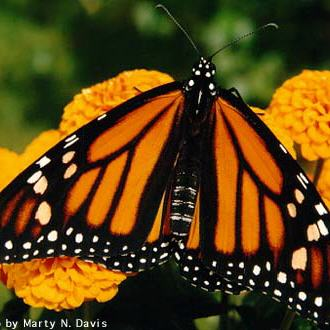 From Monarch Watch