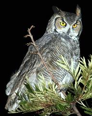 The Who's Whoo-ing project studies the Great-horned Owl