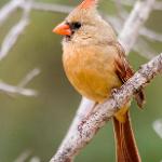 Northern Cardinal, via NestWatch