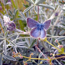 The mission blue butterfly is back home in San Francisco, thanks to science volunteers. (photo by the National Park Service)