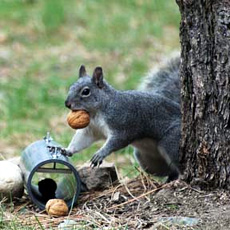 A happy fun western gray squirrel (Photo: Pacific Biodiversity Institute)