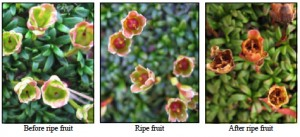 You can help the AMC monitor flowering and fruiting patterns of delicate alpine plants such as the cushion plant (Diapensia). Photo: Appalachian Mountain Club