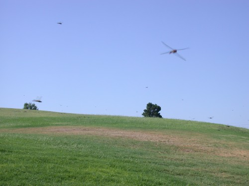 A dragonfly swarm over grass. (Courtesy photo)