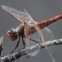Studying Dragonfly Swarms with Citizen Science