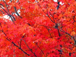 maple-tree-leaves-in-autumn-110661300185760w40