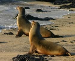 Endangered Galápagos sea lion (Zalophus wollebaeki)