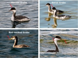 Identifying grebes of Puget Sound