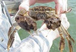 Hunter2 Project Noah sighting mitten crab