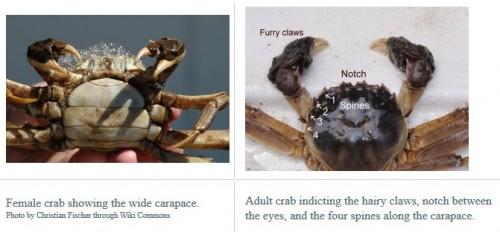 mitten crab ID