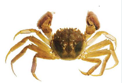 mitten crab adult