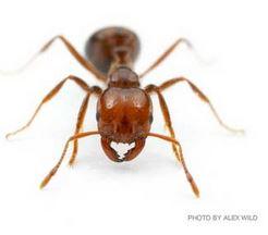 Alex wild ant photo