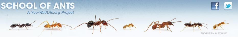 School of ants alex wild photos