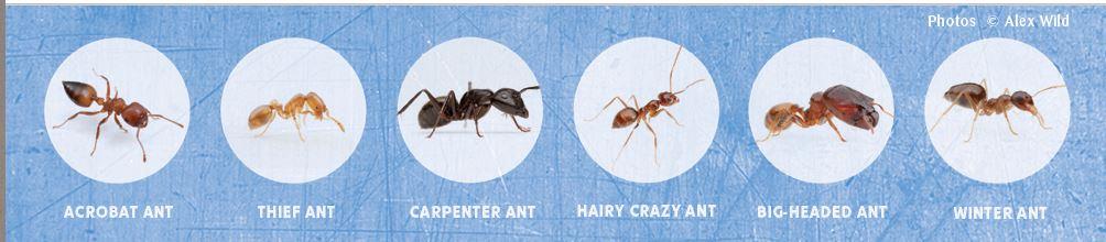 ant capture alex wild