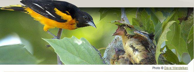 oriole nest watch