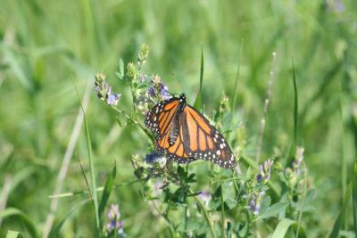(Wendy Caldwell) adult monarch