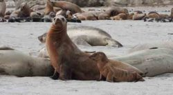 California sea lion adult female with underweight pup. Credit: NOAA Fisheries.