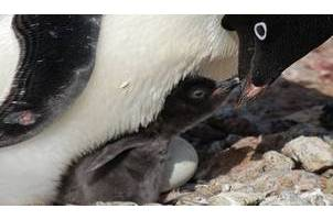 Adelie penguin with chick