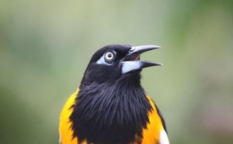 Femal troupial, a songbird