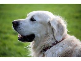 Golden Retriever dog looking left
