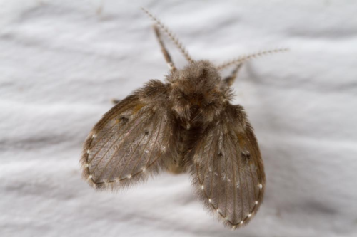 Photo of moth fly.