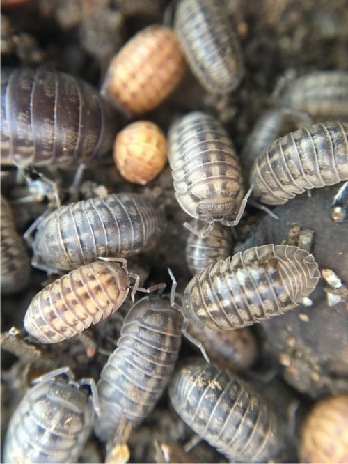 Photo of Pill bugs