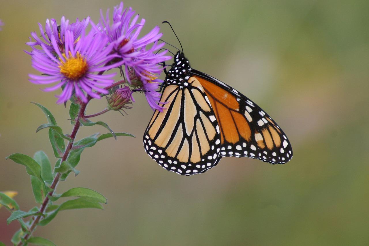 Monarch butterfly. Photo source: Pixabay