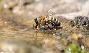 bee drinking from puddle of water
