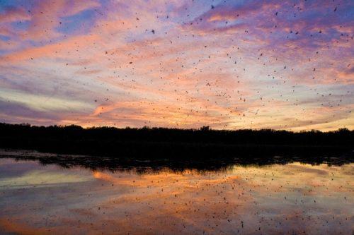 Purple martins swarm at sunset.