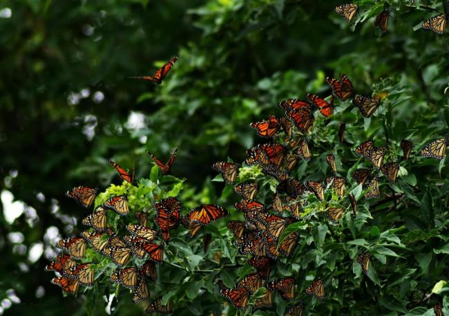 monarch migration pollinator garden