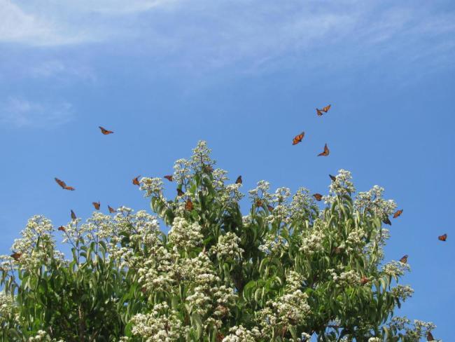 monarch migration milkweed