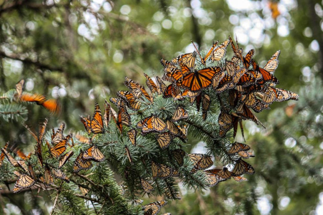 monarch butterflies migrate