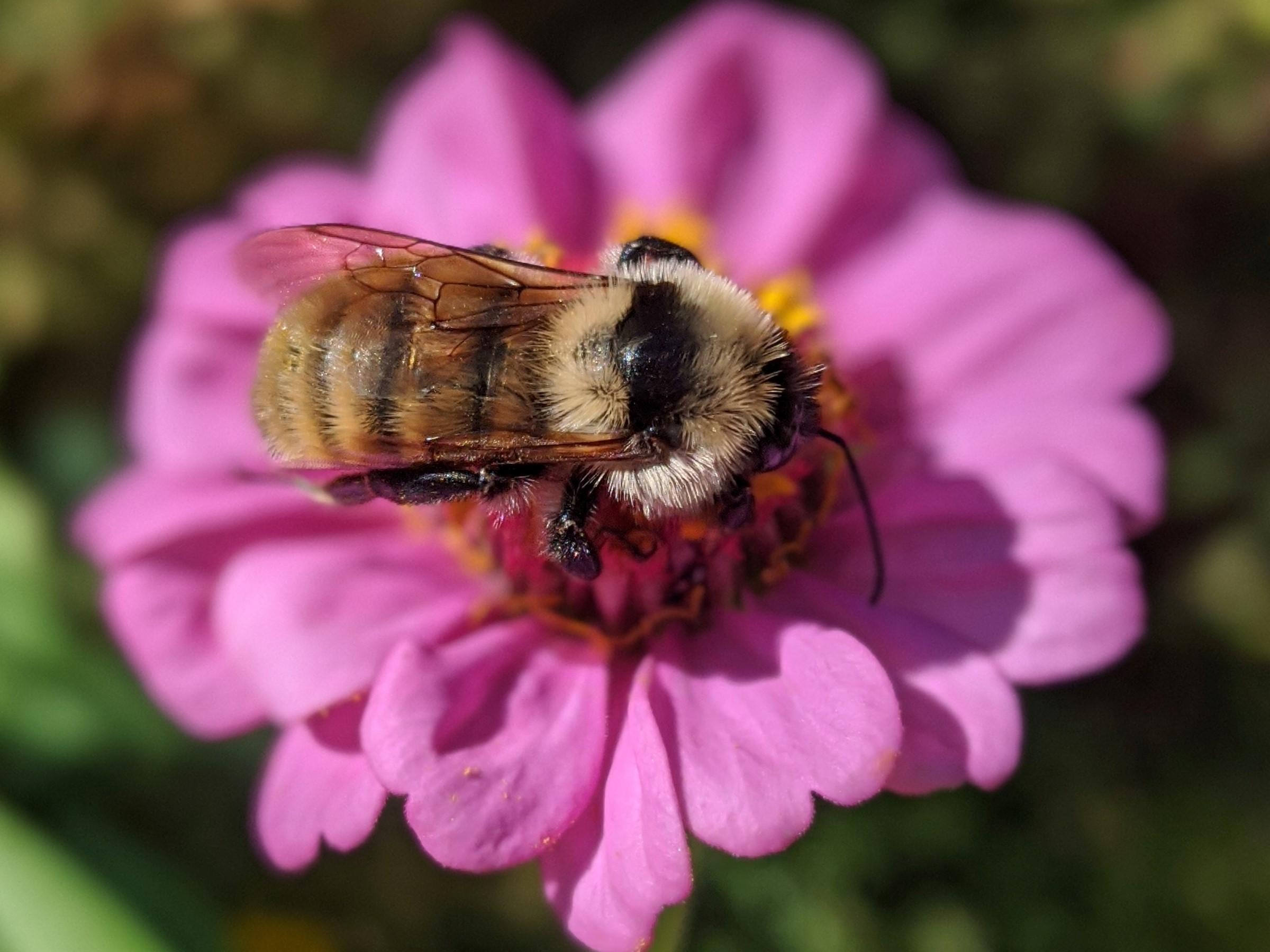 A single bumblebee sits on a purple zinnia flower in a garden.