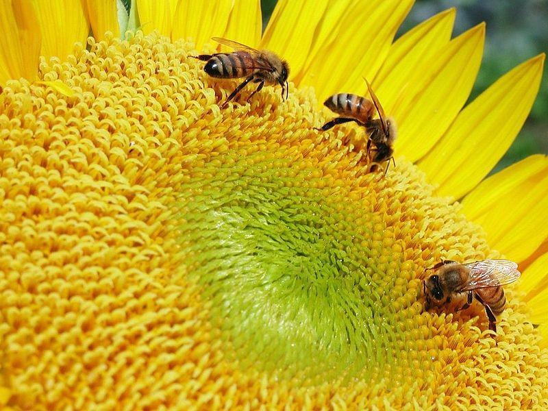 Three honeybees feed on a big sunflower.