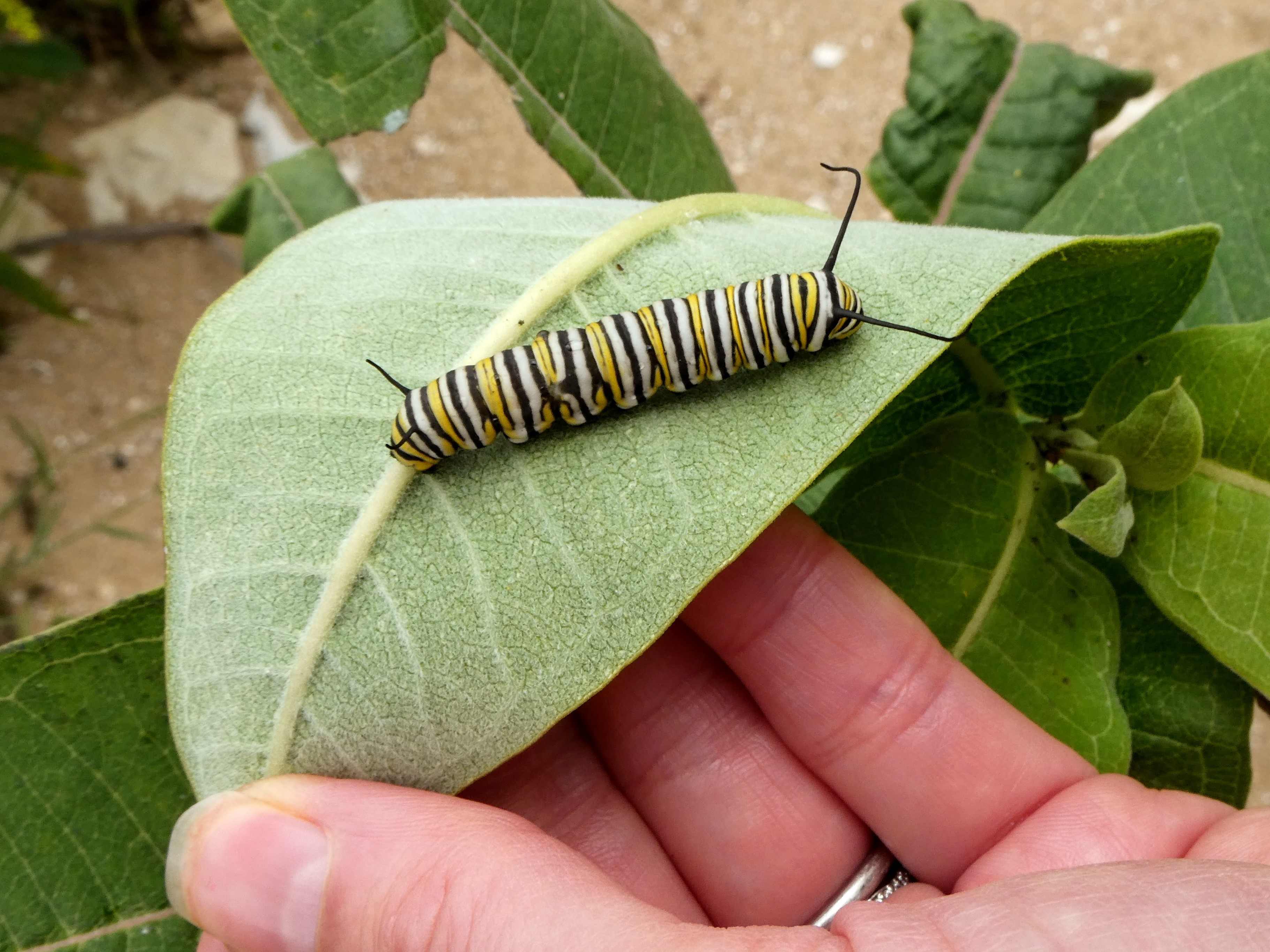 A woman's hand reaches to overturn a milkweed leaf, revealing a large monarch caterpillar on the underside of the leaf.