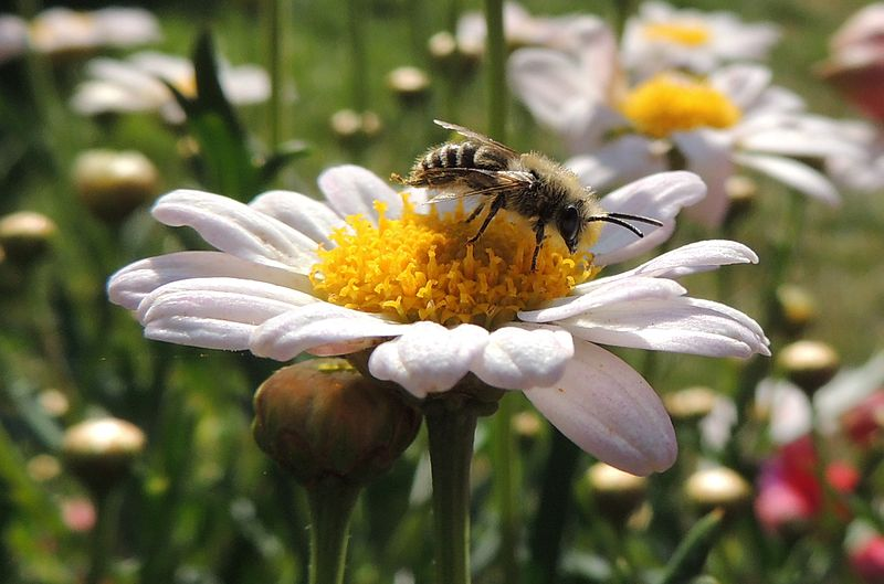 A single bee sits atop a white flower with a yellow center. More yellow flowers are blurred in the background.